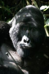 uganda-gorilla01