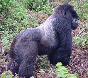 Gorillas Revisited