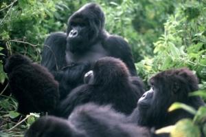titus_and_familymountain_gorillas_on_rwanda-drc_bordervirungas-small-photoianredmondcouk