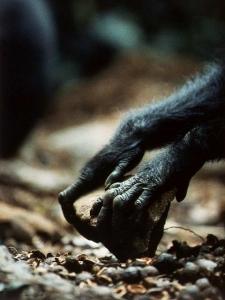 chimp_piedra