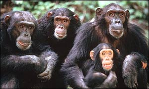 chimpances_grupo