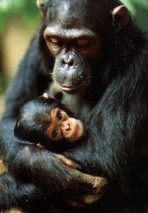 chimpances_JGI