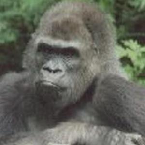 pattycake_gorilla