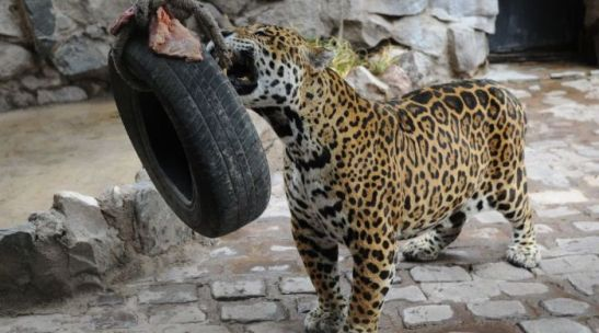 orlando_jaguar