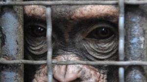 chimpance_laboratorio