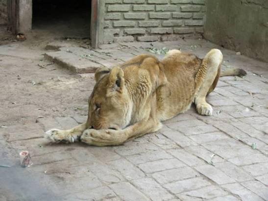 Leon-fotografiado-semana-Zoo-Colon_CLAIMA20130712_0204_14