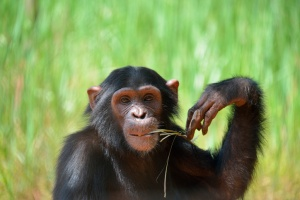 chimpance_virunga