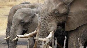 Elefantes Dzanga-Sangha
