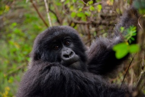 gorila_virunga