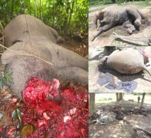Masacre de elefantes en RCA