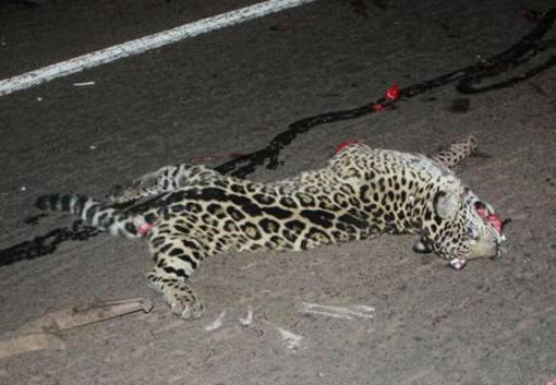 yaguarete muerto - 2012