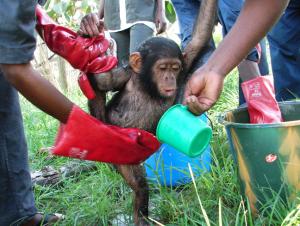Chimpancé recogido en el Santuario de Tchimpounga