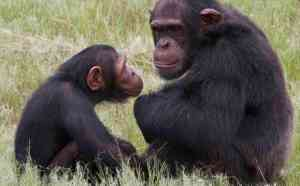 Wildlife Trafficking Great Apes