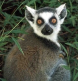 lemur_madagascar